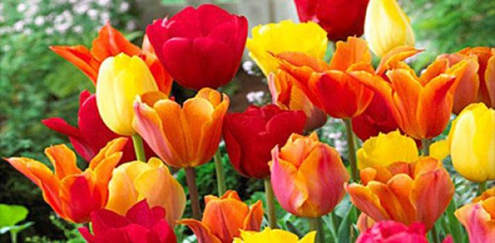 Glenarm Castle Annual Tulip Festival